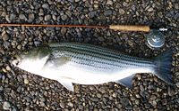 striped bass caught on fly in Alabama